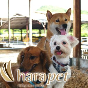 harapet